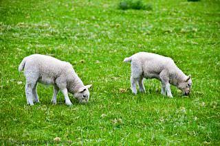 Little lambs grazing