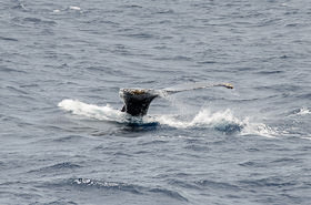 Humpback tail disappearing into the ocean