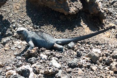 A Galapagos marine iguana