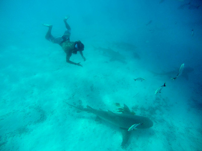 Andrea dives on a big Lemon Shark