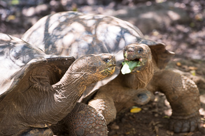 Giant tortoises enjoying a catered lunch