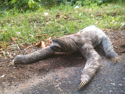A Three-Toed Sloth crossing the road