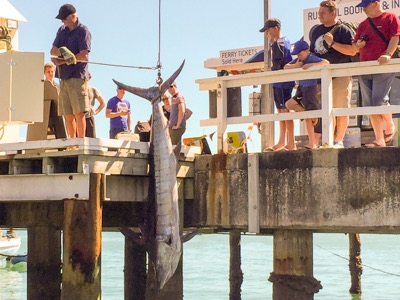 Huge marlin being weighed in Russell