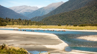 Cattle crossing a river on the South Island