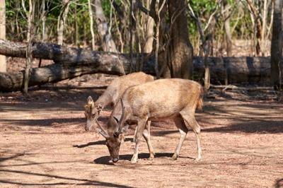 Local deer on Komodo